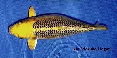 Đặc điểm và cách chọn cá koi Gin Matsuba