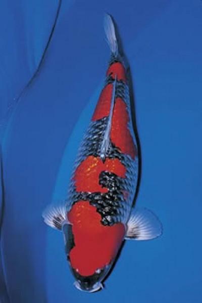 Đặc điểm và cách chọn cá koi Goshiki