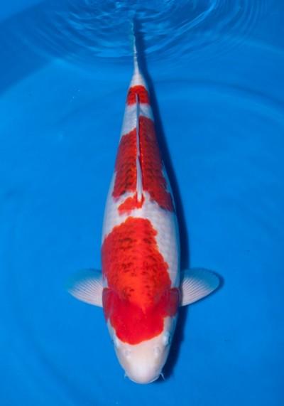 Đặc điểm và cách chọn cá koi Goromo