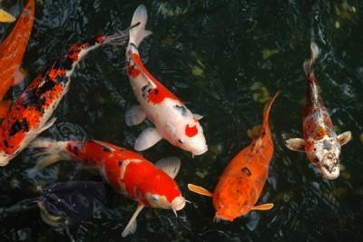 Cá Koi nhiễm sán